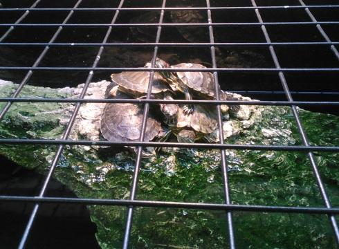 turtle jailbreakCROP
