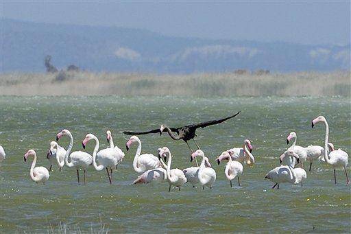 Cyprus Black Flamingo