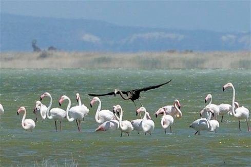 Cyprus Black Flamingo