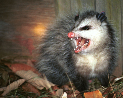 Possums are nothing but fur and pure evil